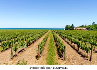 Vineyard on tha lake shore of Niagara on the lake