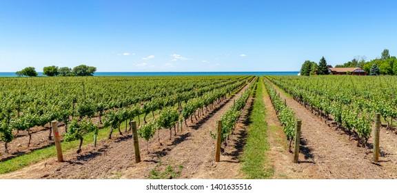 Vineyard on tha lake shore of Niagara on the lake, Ontario, Canada