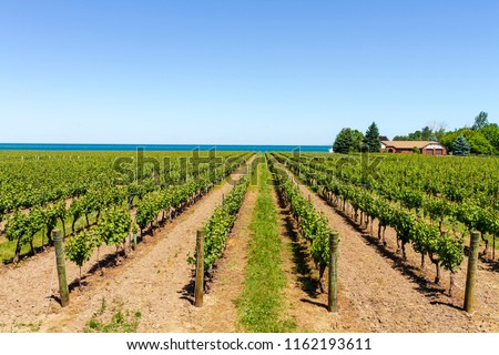 Vineyard on tha lake shore of Niagara on the lake