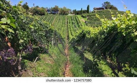 Vineyard on Waiheke Island in Auckland, New Zealand