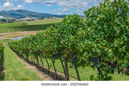 Vineyard Orange NSW. Situated at the feet of a spent volcano the rich soil produces great cool climate wines and fruit.