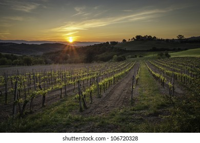 A vineyard outside of Montepulciano in spring.