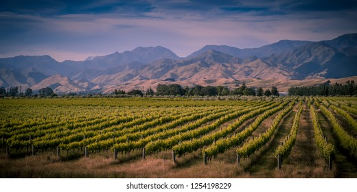 Vineyard overview with mountains in background in Marlborough area new zealand