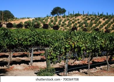 Vineyard in Paso Robles,California USA