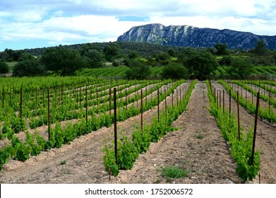 Vineyard with Pic Saint Loup mountain in the background