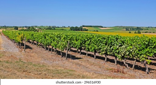 Vineyard with Pineau grapes in the Cognac region, department Charente-Maritime, in summertime, France