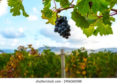 Vineyard plantation in the background of nature