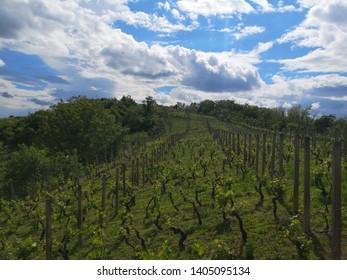 Vineyard in Pozega, Slavonia, Croatia