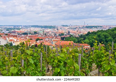 Vineyard in Prague near Hradcany hill - Czech Republic