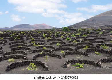vineyard protected bu stones wall in canary islands