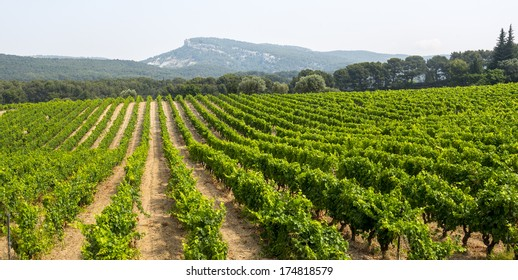 Vineyard in Provence near Marseille (Bouches-du-Rhone, Provence-Alpes-Cote d'Azur, France) at summer