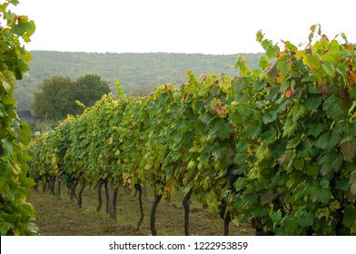 Vineyard in the rain.