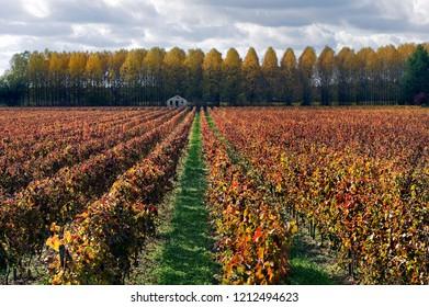 Vineyard in the region Medoc, France