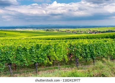vineyard in Ribeauville