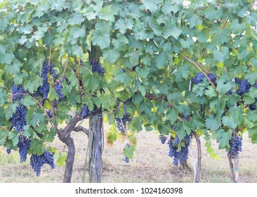 Vineyard with ripe blue chianti grapes and still green foliage in tuscany, italy