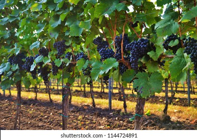 Vineyard with ripe blue grapes shortly before harvesting. The harvest season usually falls between August-October in the Northern Hemisphere and February-April in the Southern Hemisphere.