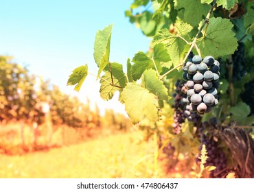 Vineyard with ripe grapes