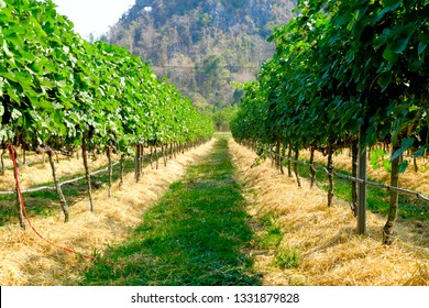 vineyard with ripe grapes in countryside, grape harvest in Italy.