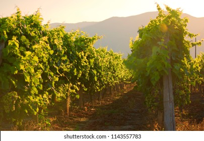 Vineyard with ripe grapes at sunset with mountain on background