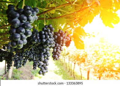Vineyard. Ripe, juicy bunches of purple grapes hang on the vine. There are green leaves around the grapes, sunlight makes the way through them. Nobody is around.
