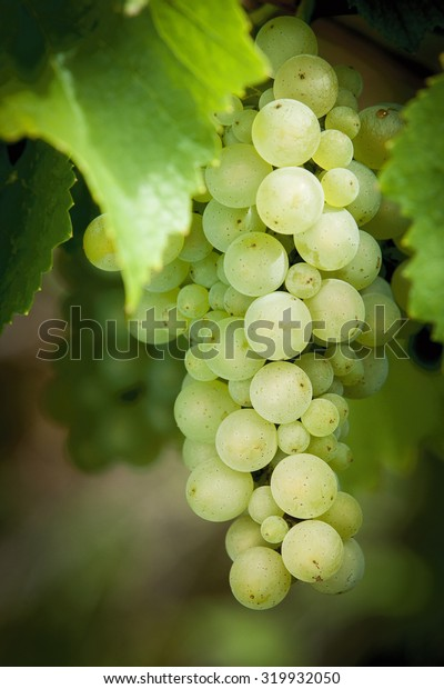 Vineyard, the river Mosel, Germany