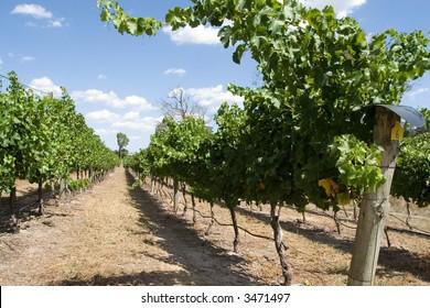 Vineyard row under a summer sky
