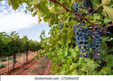 Vineyard rows of bunches of ripe red wine grapes hang from old vines in the Riverland wine region in South Australia