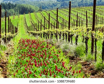 Vineyard rows flow down a hill, with green grass and crimson clover marking each space, lines marked by metal stakes and wire trellises.