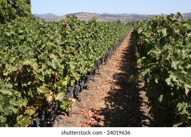 Vineyard with rows of grape vines in Napa Valley, California