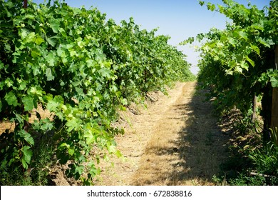 vineyard rows in Washington state