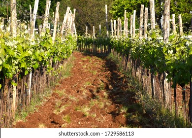 vineyard rows in western wine region  in Slovenia - Karst homeland of autochthonous red wine Teran, terano, famous made from red ground called terra rossa