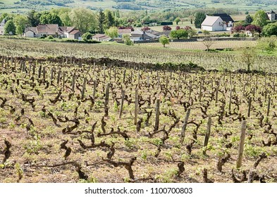 A vineyard with s stone wall lies within the village of Santenay in the Burgundy region of France.
