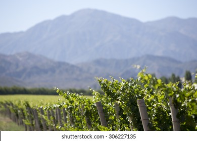 Vineyard in San Juan, in the North of Argentina. San Juan Province.