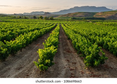 Vineyard, San Vicente de la Sonsierra as background, La Rioja, Spain