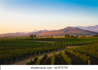 A vineyard in Santa Ynez, California.
