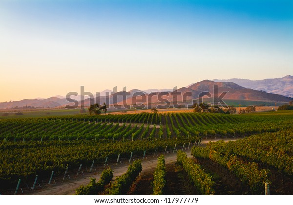 A vineyard in Santa Ynez, California.