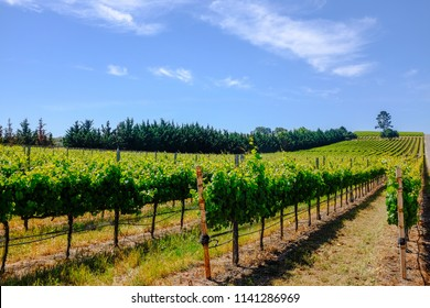 Vineyard in the Santa Ynez Valley California