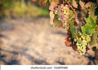 Vineyard scene with multicolored wine grapes on vine in evening light, copy-space.
