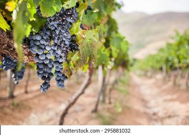 Vineyard scene with shiraz wine grapes on vine
