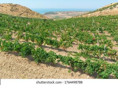 Weinberg mit Meer am Horizont in einer malerischen Hügellandschaft Siziliens im Sommer