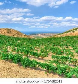 Weingarten mit Meer am Horizont in einer malerischen Landschaft Siziliens im Sommer unterhalb der Wolkenlandschaft