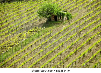 Vineyard with a small farmhouse in Montalcino, Val d'Orcia, Tuscany, Italy. Montalcino is famous for its Brunello di Montalcino wine.