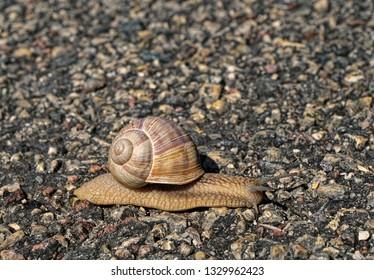 Vineyard snail crossing the motorway in countryside.