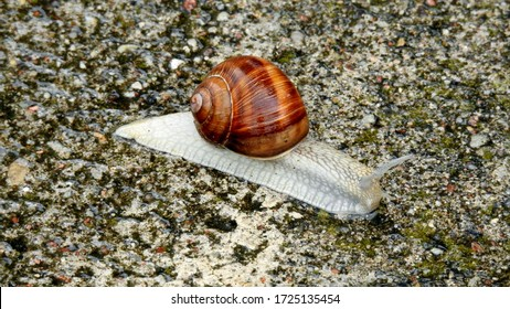 vineyard snail on a walk during rain on the sidewalk in the city of Bialystok in the Podlasie region in Poland - Shutterstock ID 1725135454