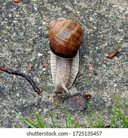 vineyard snail on a walk during rain on the sidewalk in the city of Bialystok in the Podlasie region in Poland - Shutterstock ID 1725135457