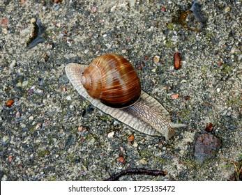 vineyard snail on a walk during rain on the sidewalk in the city of Bialystok in the Podlasie region in Poland - Shutterstock ID 1725135472