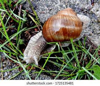 vineyard snail on a walk during rain on the sidewalk in the city of Bialystok in the Podlasie region in Poland - Shutterstock ID 1725135481