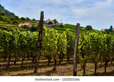 Vineyard in Somlo Hungary in summer with green ripe grape winemaking most interesting wine region in Hungary in countryside