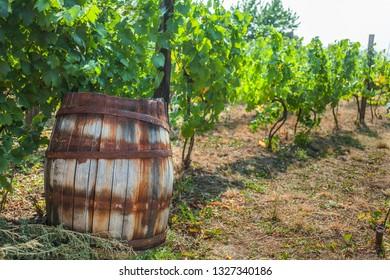 Vineyard in South Moravia region, Czech Republic, Europe