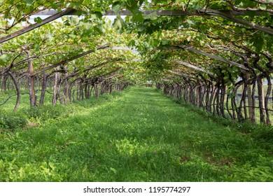 Vineyard in South Tyrol, Northern Italy, Europe